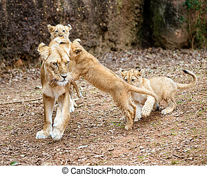 African lion cubs playing with mom