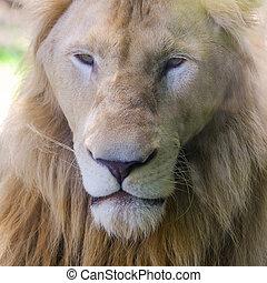African lion free roaming portrait