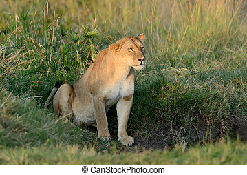 African lion in the National park
