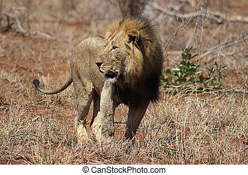 African lion male