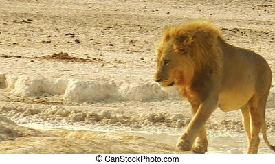 African lion walking at sunset in Etosha National Park, Namibia, Africa.