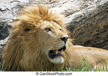 African lion (Panthera leo)
