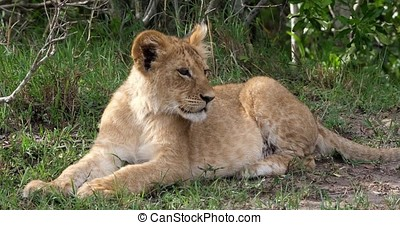 African Lion, panthera leo, cub laying down looking around,...