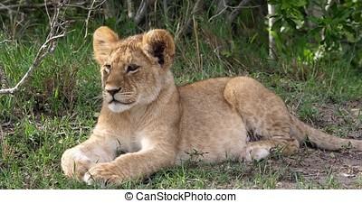 African Lion, panthera leo, Cub laying down, Masai Mara Park...