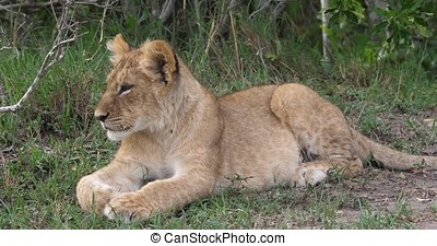 African Lion, panthera leo, cub Yawning, Masai Mara Park in...