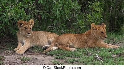 African Lion, panthera leo, Cubs, Masai Mara Park in Kenya,...