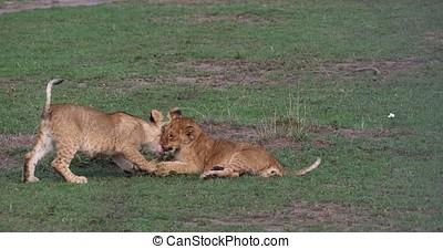 African Lion, panthera leo, Cubs playing, Masai Mara Park in...