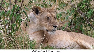 African Lion, panthera leo, Female looking around and...