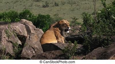 African Lion, panthera leo, Female standing on Rocks, Masai...