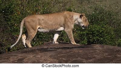 African Lion, panthera leo, Female walking on Rock, Masai...