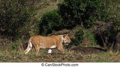 African Lion, panthera leo, Female walking through the Bush,...