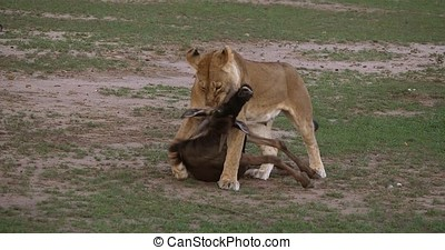 African Lion, panthera leo, Female with a Kill, a Wildebest,...