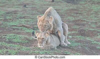 African lion, Panthera leo, pair mating South Africa, August