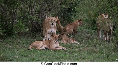African Lion, panthera leo, Group standing in the bush,...