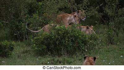 African Lion, panthera leo, Group standing in the bush, Masai Mara Park in Kenya, Real Time 4K