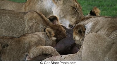 African Lion, panthera leo, Group with a Kill, a Wildebest,...