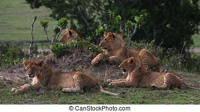 African Lion, panthera leo, Masai Mara Park in Kenya, Real...