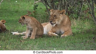 African Lion, panthera leo, Mother and Cub, Masai Mara Park...
