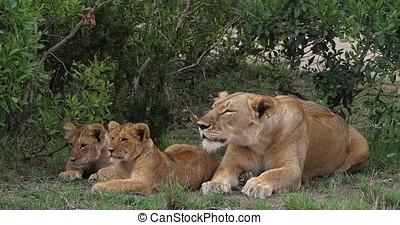 African Lion, panthera leo, Mother and Cubs, Masai Mara Park...