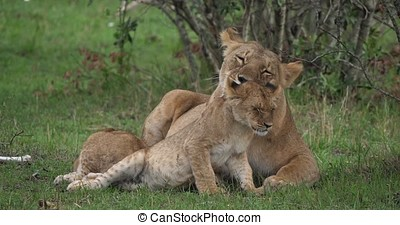 African Lion, panthera leo, Mother licking its Cub, Masai...