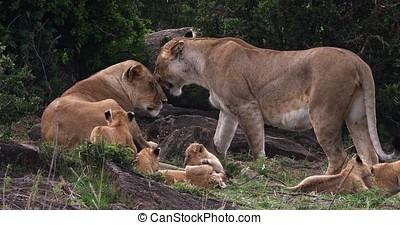 African Lion, panthera leo, Mothers and Cubs, Masai Mara...
