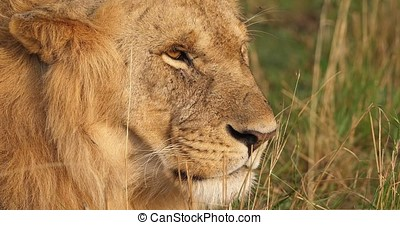 African Lion, panthera leo, Portrait of Male, Masai Mara...