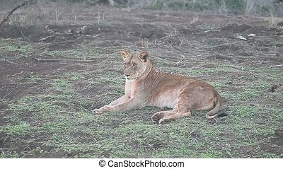 African lion, Panthera leo, single female South Africa,...