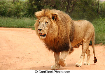 African lion walking along, South Africa