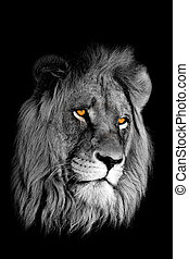 African lion portrait - Black-and-white portrait of an...