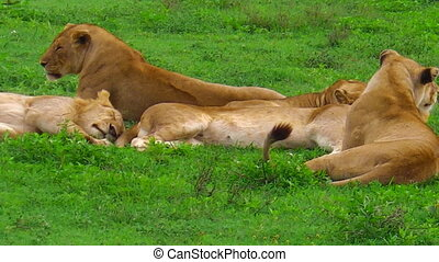 African lion pride in Ndutu - An African lion pride sitting...