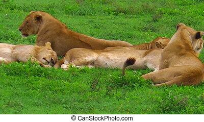 African lion pride in Ndutu