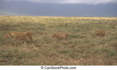 African Lion Pride, Lioness Walking in Meadow With Two Young Lions aka Cubs.