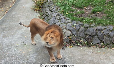 African lion shakes mane