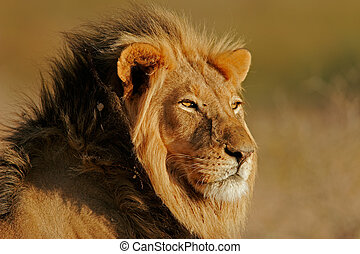 African lion - Portrait of a big male African lion (Panthera...