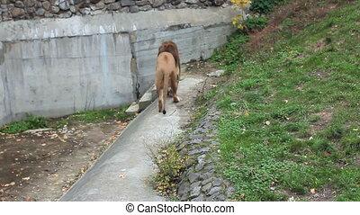 African lion walks in autumn Zoo