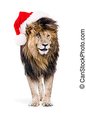 African Lion Wearing Christmas Santa Hat - Funny photo of...