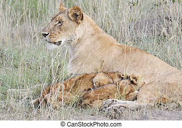 Lion cubs feeding in Masai Mara National Park, Kenya