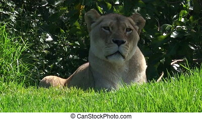 African lioness lay on green grass