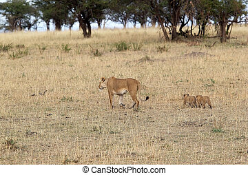 African lioness (Panthera leo) and cubs