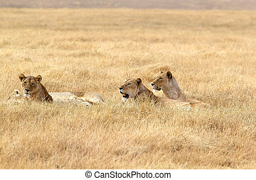 African lioness (Panthera leo) in the african savanna
