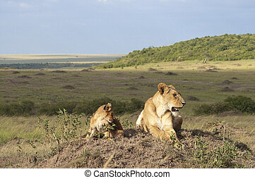 Lioness with three month old cub resting on top of termite mound in Masai Mara National Park, Kenya
