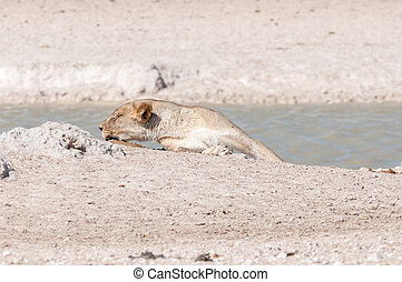 African Lioness sleeping at a waterhole in Northern Namibia