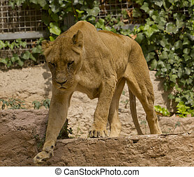 African lioness - African lion in a zoo in Barcelona