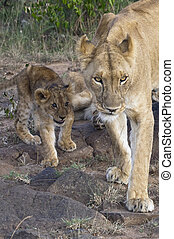 African lioness with cub - Lioness with three month old cub ...