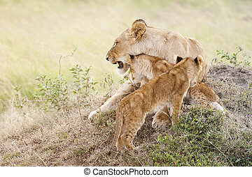 African lioness with two cubs