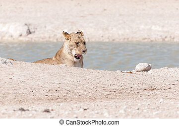 African Lioness yawning at a waterhole in Northern Namibia