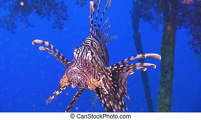 African lionfish on Shipwreck, Red sea