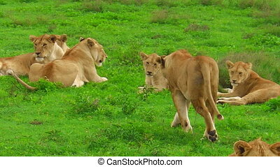 African lions close up in Ndutu - close up of African lion...