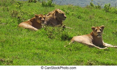 African lions in Ngorongoro Crater - close up of African...