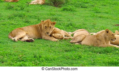 African lions Ndutu Area of Ngorongoro